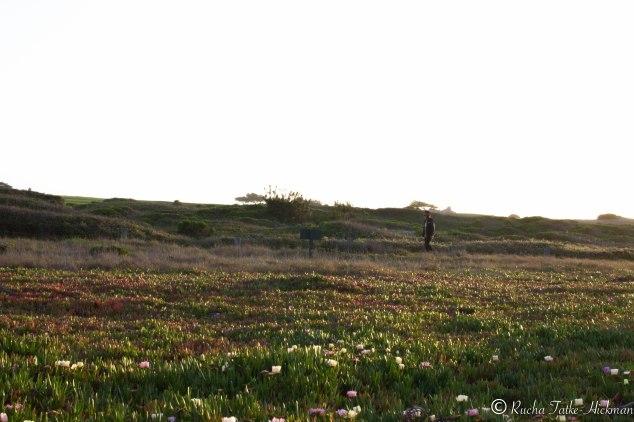 Pebble Beach field flowers